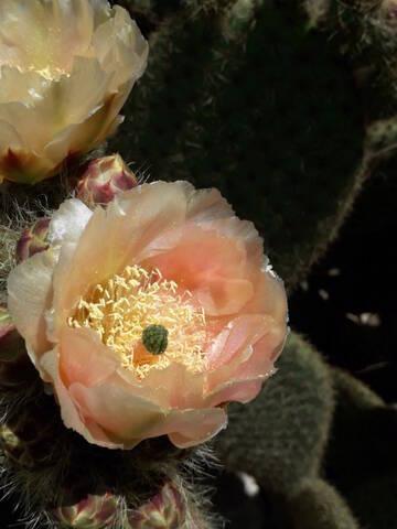 Cactus - floraisons 2020 20200731