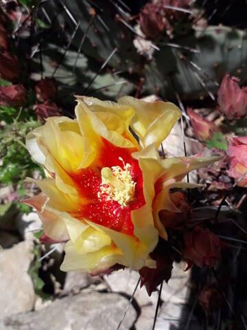 Cactus - floraisons 2020 20200734