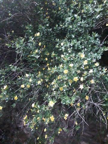 Jasminum fruticans 20200742