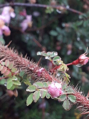 Rosa spinosissima  (= Rosa pimpinellifolia) 20200761