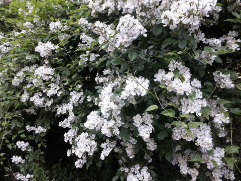 Rosa multiflora 20200829