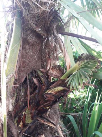 Trachycarpus fortunei - Page 12 20200858