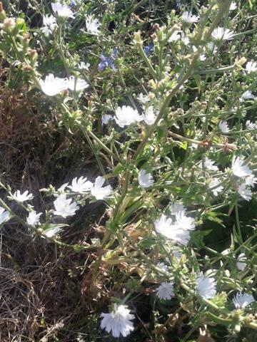 Cichorium intybus - chicorée sauvage, chicorée amère 20200895