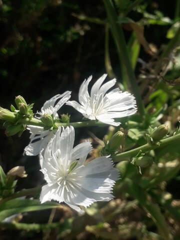 Cichorium intybus - chicorée sauvage, chicorée amère 20200897