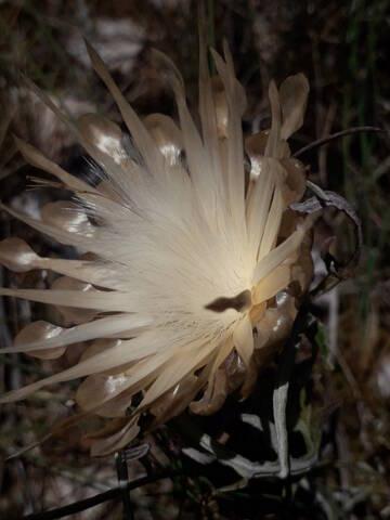 Carthamus lanatus - carthame laineux 20200902