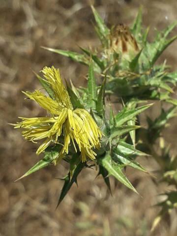 Carthamus lanatus - carthame laineux 20200903