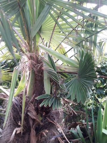 Trachycarpus fortunei - Page 12 20200908