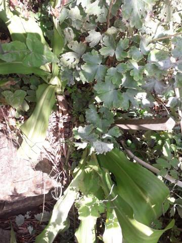 Eucomis bicolor  20200916