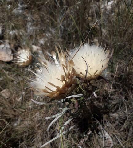 Carthamus lanatus - carthame laineux 20200921