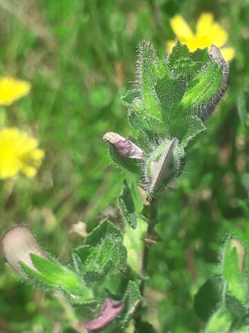 Ononis spinosa - bugrane épineuse, arrête boeuf 20200932