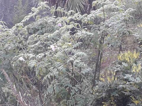 Dahlia imperialis - Page 10 20201215