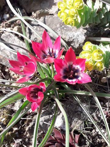 les prémices de la saison - tulipes botaniques 20210316