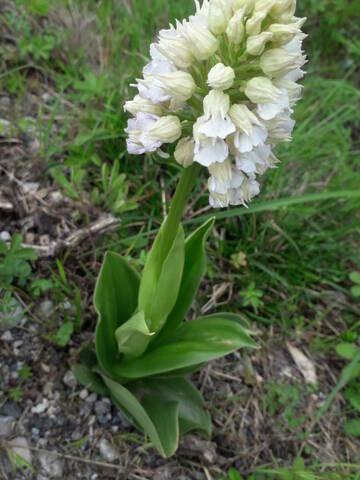 Orchis purpurea - orchis pourpre - Page 2 20210412