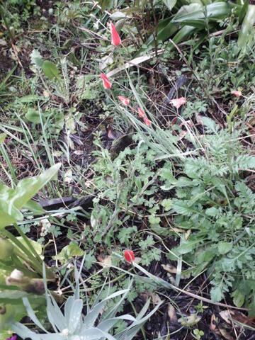 Tulipa clusiana 20210434