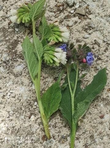 Symphytum orientale et hybrides - consoude orientale - Page 3 Img_2027