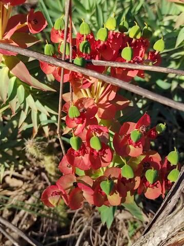 Euphorbia rigida - euphorbe rigide - Page 4 Img_2110
