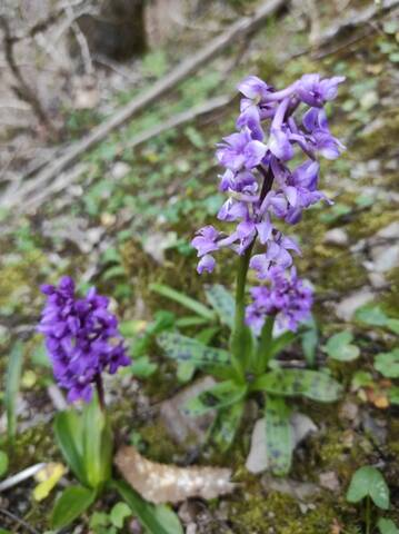 Orchis mascula - orchis mâle - Page 2 Img_2125