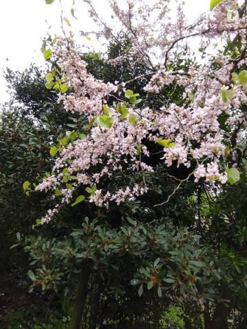 Cercis siliquastrum - arbre de Judée  - Page 4 Img_2130
