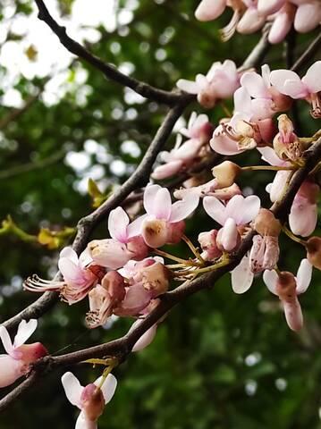 Cercis siliquastrum - arbre de Judée  - Page 4 Img_2131