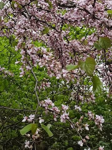 Cercis siliquastrum - arbre de Judée  - Page 4 Img_2133