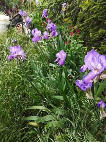 Les iris inédits : diploïdes horticoles français  Img_2137