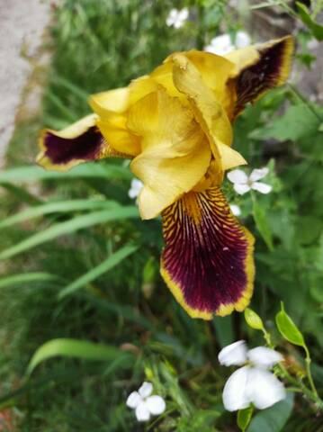 Les iris inédits : diploïdes horticoles français  Img_2138