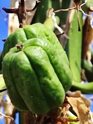 identification agave qui a fructifié Img_2215