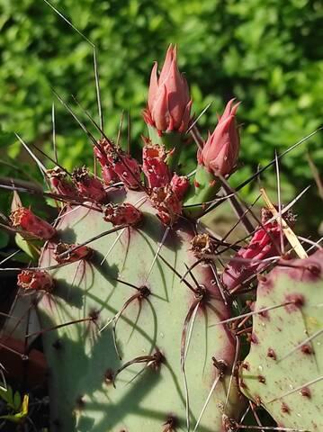 Cactus - Floraisons 2021 Img_2242