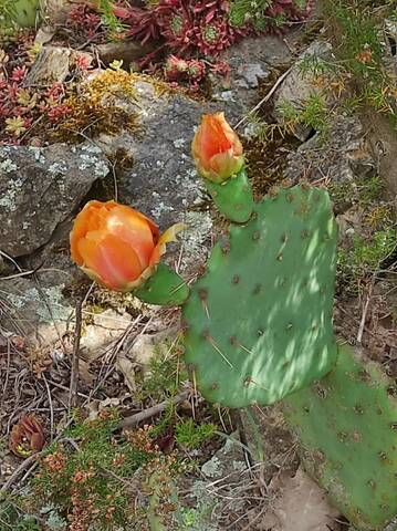 Cactus - Floraisons 2021 Img_2286
