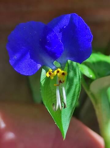 autre comélinaceae à identifier Img_2308