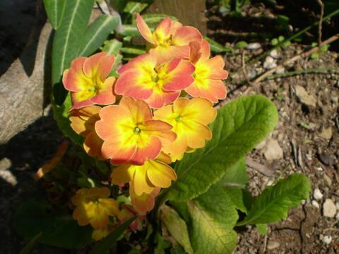Primula veris, Primula elatior et hybrides - primevères P4240014
