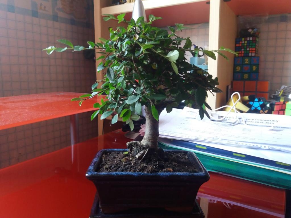mi primer bonsai es un olmo  20190613