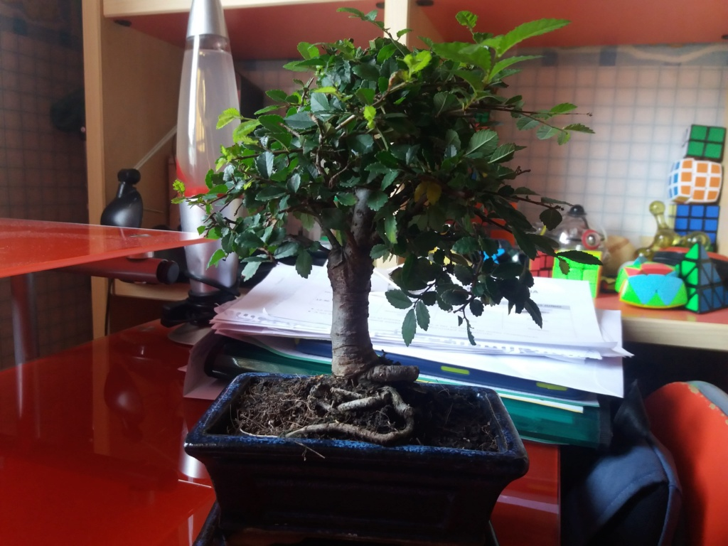 mi primer bonsai es un olmo  20190614