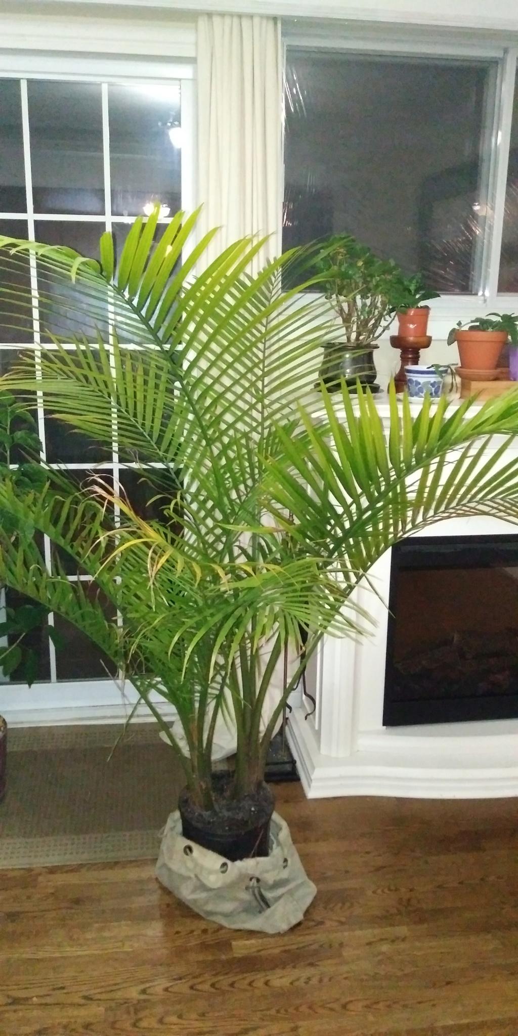 Fougère (Non, un palmier!) 20191111