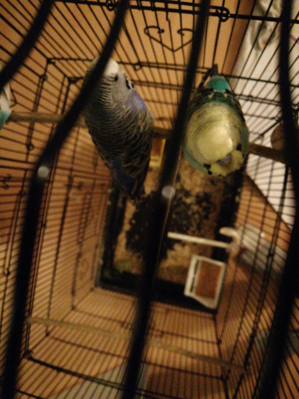 Mes nouvelles perruches 15793611