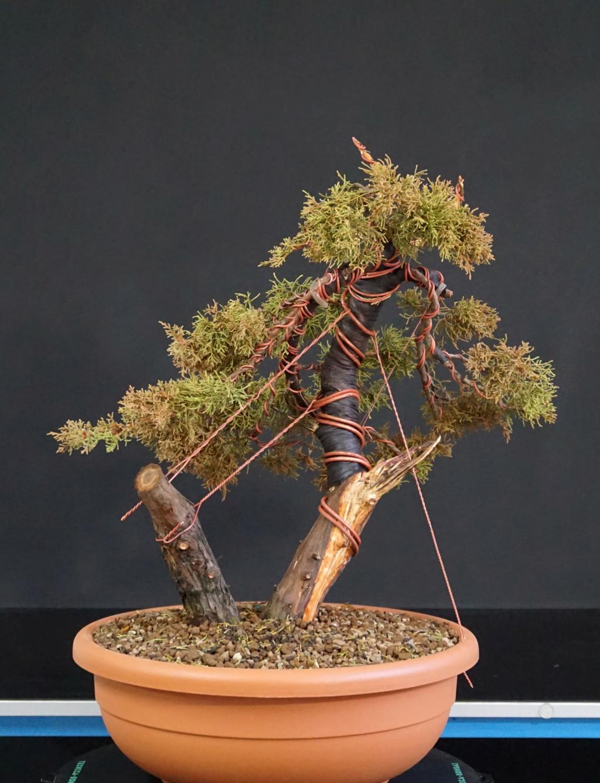 Juniperus Chinensis - Svuotamento Tronco Dopo10