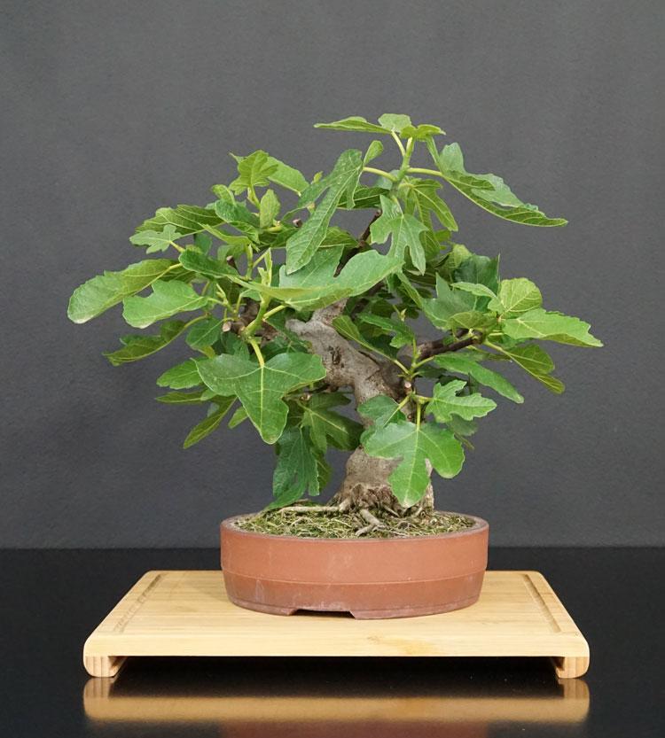 Ficus-Carica - Pagina 12 Ficus-10
