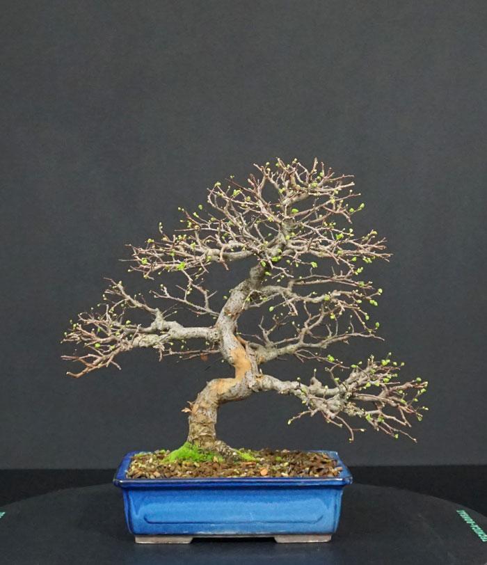 Ulmus Parvifolia (Olmo Cinese) - Anlaids - Pagina 5 Fronte10