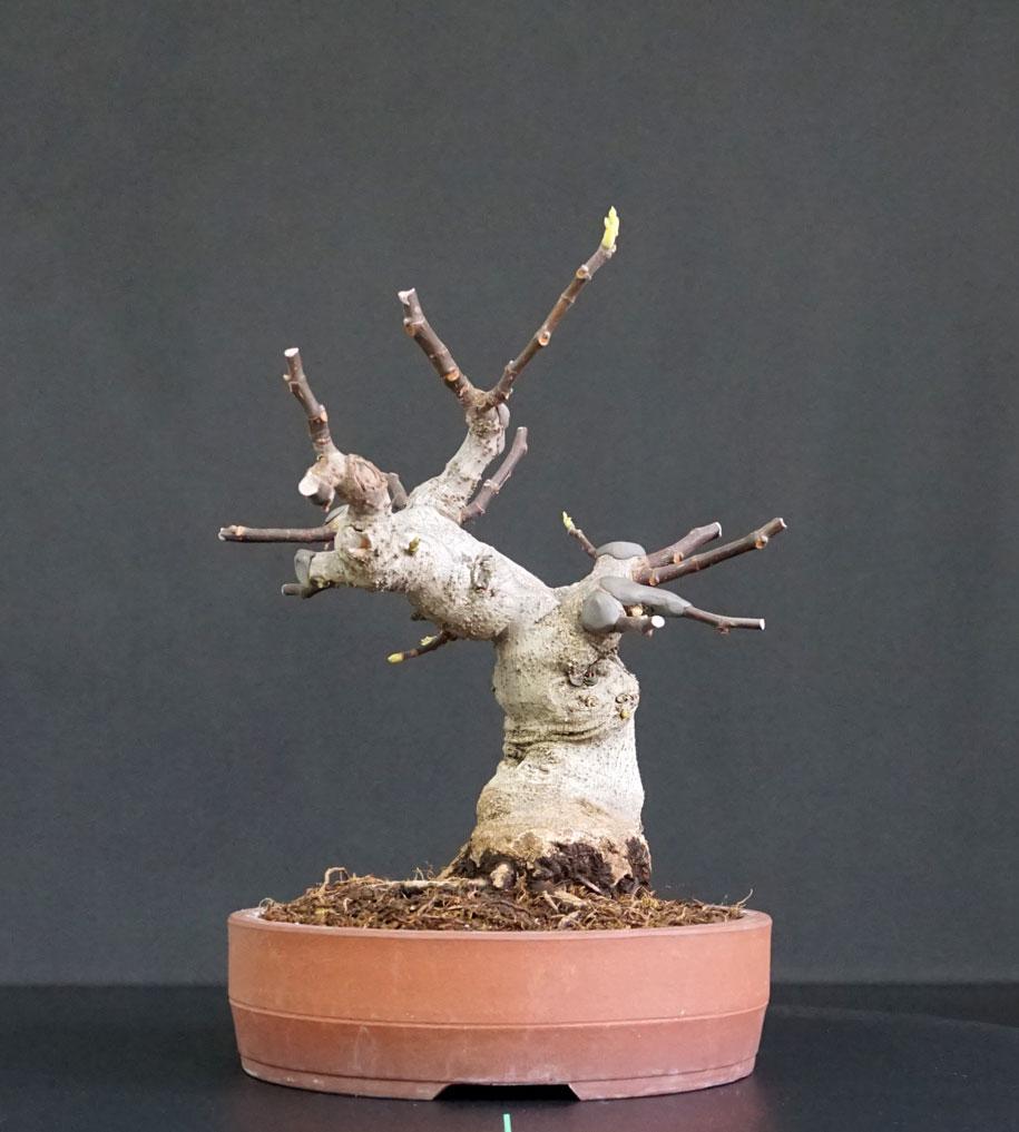Ficus-Carica - Pagina 12 Fronte11