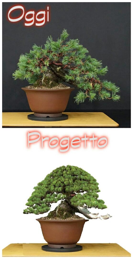 "Pinus Parviflora Var. ""Ibokan"" Img_2011"