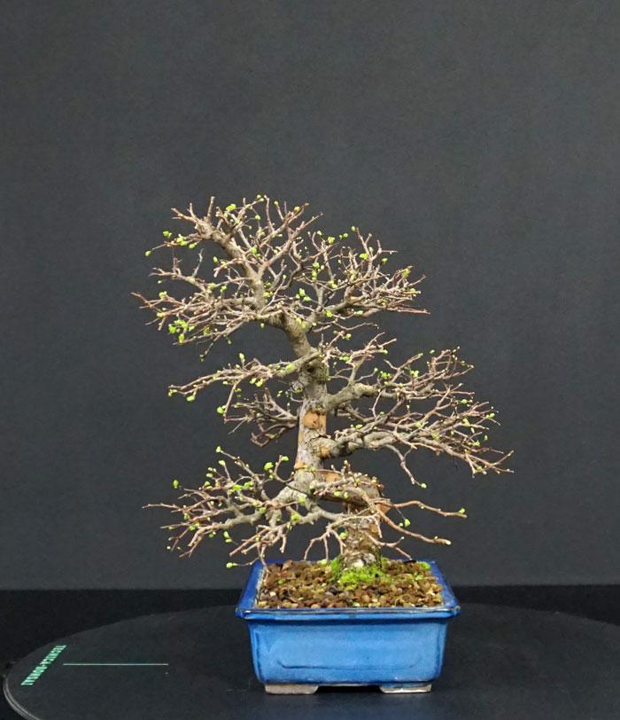 Ulmus Parvifolia (Olmo Cinese) - Anlaids - Pagina 5 Lato-d10