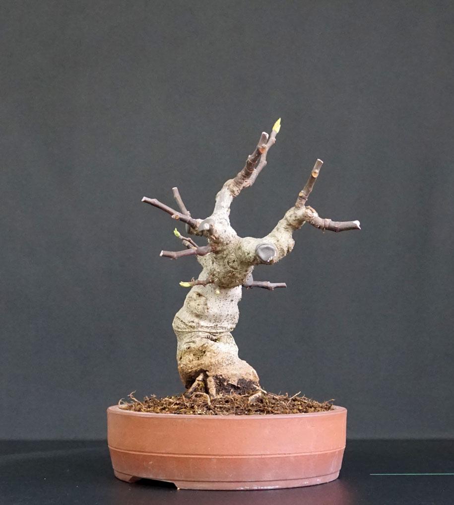 Ficus-Carica - Pagina 12 Lato-s11