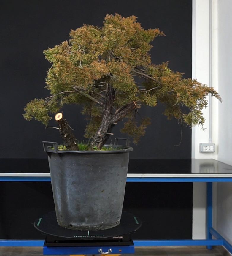 Juniperus Chinensis - Svuotamento Tronco Prima10
