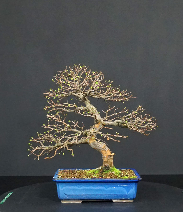 Ulmus Parvifolia (Olmo Cinese) - Anlaids - Pagina 5 Retro_10