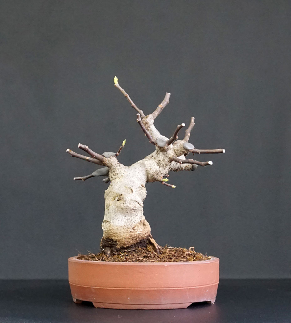 Ficus-Carica - Pagina 12 Retro_11