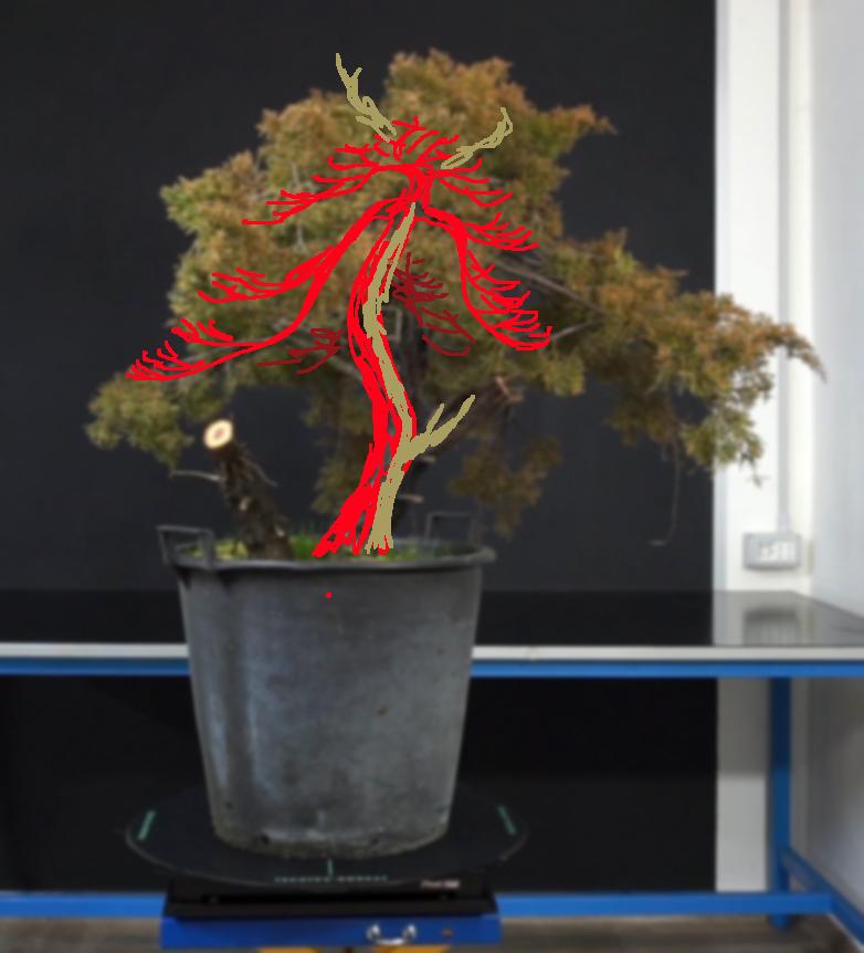 Juniperus Chinensis - Svuotamento Tronco Vr10