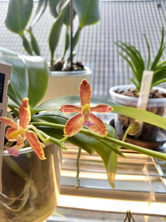 Phalaenopsis mannii x bastianii 20210313