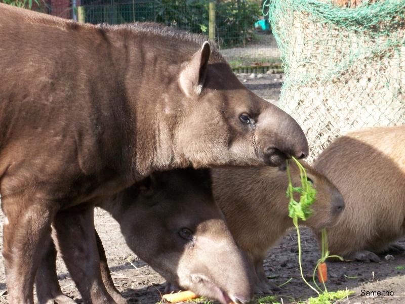 Le tapir terrestre (Tapirus terrestris) 100_0410