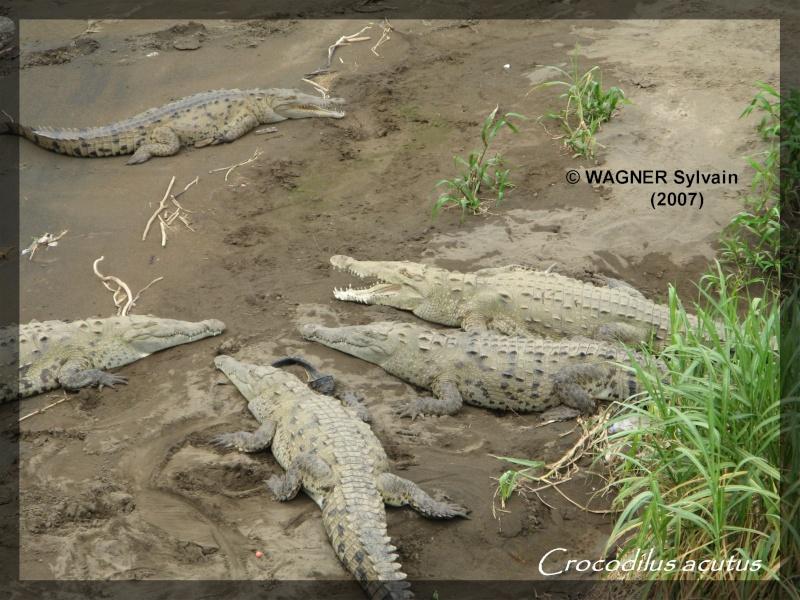 Crocodilus acutus Crocod10