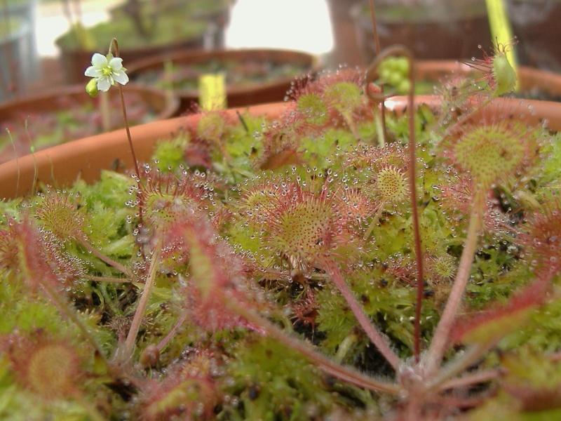 Rotundifolia, beleziana, intermedia Droser11